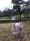Alpaca at Totnor Mill