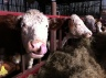 Caplor Herefords 3
