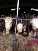 Caplor Herefords 1