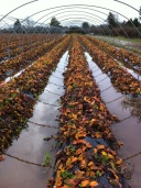 Strawberry polytunnels