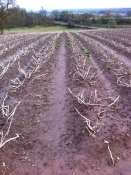 Potatoes at Coldborough Park 1