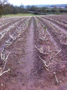Potatoes at Coldborough Park 1