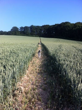 Dogs in the wheat
