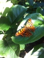 Butterfly at Pontshill