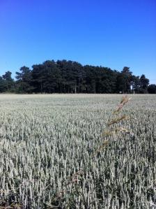 Wheat and heat