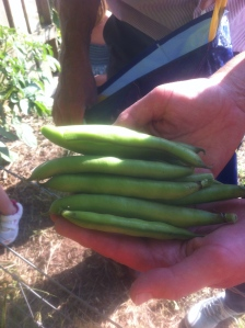 Broad beans for supper