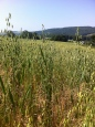 Oats on the way up May Hill