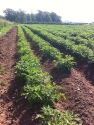 Potatoes on the way to May Hill