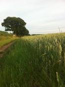 Warren Farm wheat