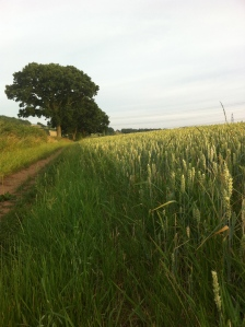 Warren Farm wheat