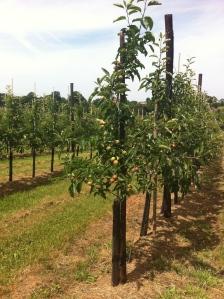 Orchard near Gorsley