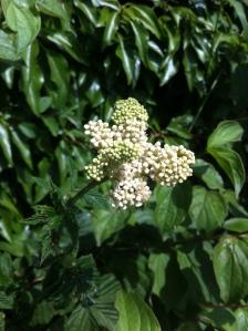 Meadowsweet in Gorsley hedgerow