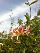 Honeysuckle in Gorsley hedgerow
