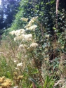 Meadowsweet again