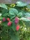 Loganberries