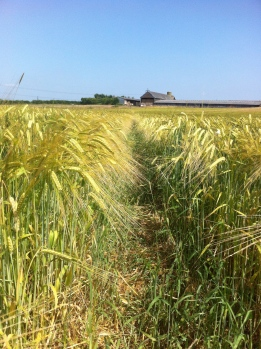 Barley at Bovone