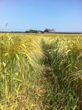 Barley at Bovone