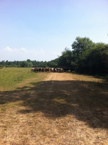 Cows at High Leadon