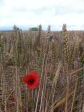 Wheat and poppies at Gayton Farm