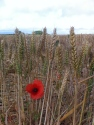 Wheat and poppies at Gayton Farm