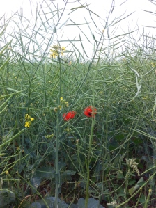 Poppies in the oilseed rape