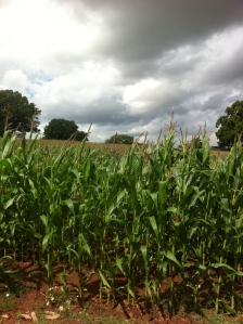 My how you've grown, maize