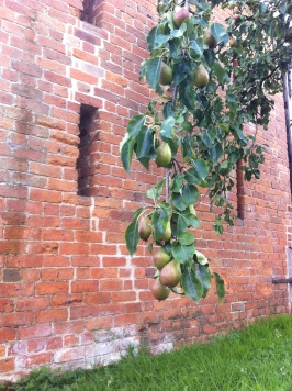 Pears at Hunt Court