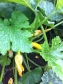 Courgette plant