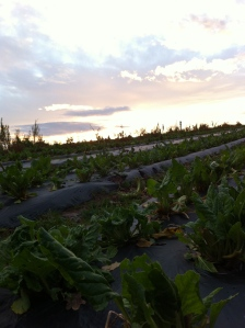 Chard in sunset, Carey Organic