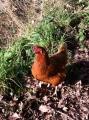 Hen at Cobrey