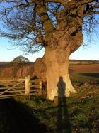 Oak near Hole-in-the-Wall