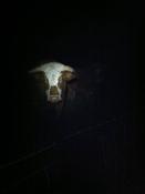 Bull looms out of the dark at Capler Camp