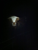 Bull looms out of the dark at Capler Camp